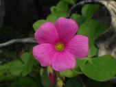 復旦社區花草(106年秋天):DSC09546桃紅色花朵.JPG