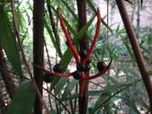 夏威夷椰子黃花序及黑果子:DSC05531.JPG