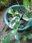 老友台北家盆栽植物:13791鈍葉椒草.jpg
