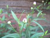 菊科植物:P2110370