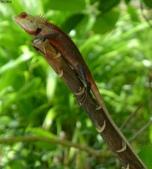 馬爾地夫-瑞僖敦渡假村的生物:L1010458馬爾地夫-變色樹蜥.JPG