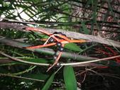 夏威夷椰子黃花序及黑果子:DSC05534黑果子.JPG
