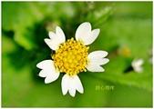 驚豔的花朵(白色系):粗毛小米菊花朵