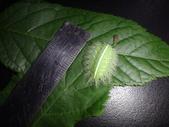 黑點扁刺蛾四齡幼蟲~圓褐繭~羽化:DSC01003身長2.2公分.JPG