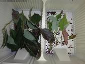 樟葉蓑蛾幼蟲~蛹與蠕狀母蛾現身:DSC01935啃食嫩樟葉.JPG