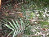 夏威夷椰子黃花序及黑果子:DSC05545夏威夷椰子.JPG