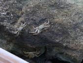 馬爾地夫-瑞僖敦渡假村的生物:L1010153白紋方蟹.JPG
