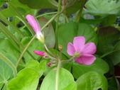 復旦社區花草(106年秋天):DSC09556花苞與花萼.JPG