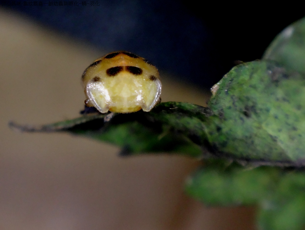龜紋瓢蟲一齡幼蟲剛孵化~蛹~羽化:DSC05777蛹頭部.JPG