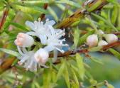 驚豔的花朵(白色系):狐尾武竹花蕊