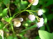 菊科植物:P2160265