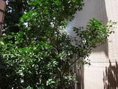 後院種25年的柚子樹首次結果:DSC00514.JPG