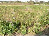 草本類植物:貓鬚草