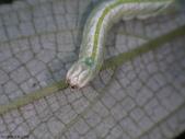 大雪山昆蟲與蜘蛛:DSC07849頭部.JPG