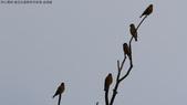 復旦社區稀有冬侯鳥-金翅雀:N74A4466.JPG