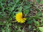 108~109年復旦社區昆蟲:DSC03222橙頭土蜂頭部橙黃色.JPG