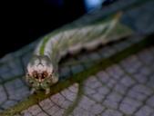 大雪山昆蟲與蜘蛛:DSC07851.JPG