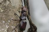 鞘翅目 金龜子:二隻獨角仙