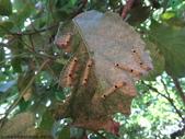 梨偽毒蛾終齡幼蟲~繭蛹~羽化:DSC07767梨偽毒蛾終齡幼蟲.JPG