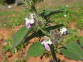 109年,復旦社區新的花草樹木:DSC03106唇形花.JPG