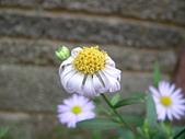 菊科植物:P2110352