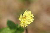 菊科植物:DSC07185