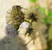 菊科植物:貓腥草花朵與瘦果冠毛