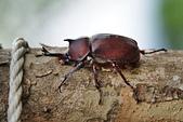 鞘翅目 金龜子:公獨角仙