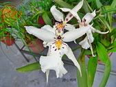 蘭花專輯:白仙女蘭白花朵