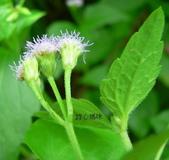 菊科植物:貓腥草花萼