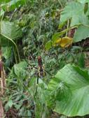 雙溪丁蘭谷生態園區的蜘蛛:DSC03893人面蜘蛛(雌)腹部.JPG