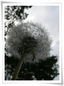 菊科植物:西洋蒲公英瘦果冠毛