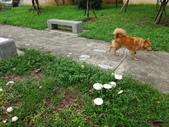 公園草坪比手掌大的二種傘菇 105.9.18~19:DSC02083.JPG