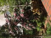107~108年,復旦社區新的花草:DSC03140煙火樹.JPG
