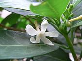驚豔的花朵(白色系):蘭嶼山馬茶白花