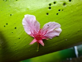 復旦三月花朵:DSC02889.JPG