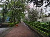 復旦三月花朵:DSC02885富士櫻花朵.JPG