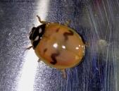 復旦-新天母公園的昆蟲107/1:DSC00061黑斑紋尚不明顯.JPG