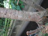 野菇蕈-復旦109~110年:DSC02930富士櫻枯萎.JPG