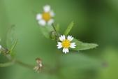 菊科植物:DSC07198