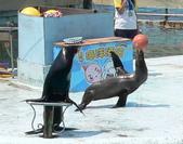哺乳綱 (貂科、熊科、蝙蝠、松鼠、袋鼠、海豚、鯨魚、海獅):海獅伏地挺身鼻頂籃球.JPG
