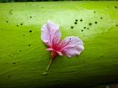 復旦三月花朵:DSC02888富士櫻落花.JPG
