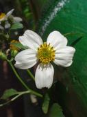 復旦三月花朵:DSC03027二色花朵.JPG