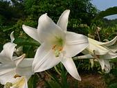 驚豔的花朵(白色系):野百合