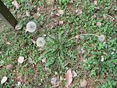 菊科植物:西洋蒲公英三朵瘦果冠毛