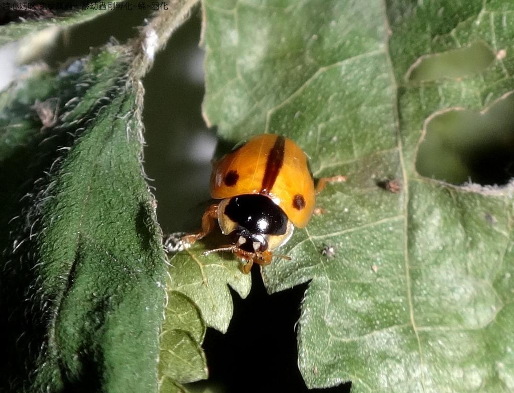 龜紋瓢蟲一齡幼蟲剛孵化~蛹~羽化:DSC06187龜紋瓢蟲(雌)吃蚜蟲.jpg