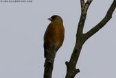 復旦社區稀有冬侯鳥-金翅雀:N74A4471b.jpg