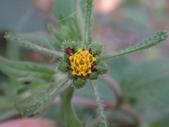復旦三月花朵:DSC03107豨薟黃花.JPG