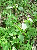 菊科植物:P2160279