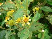 菊科植物:雙花蟛蜞菊